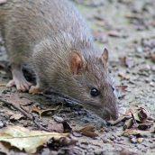 170927 Brown rat (1)
