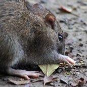 170927 Brown rat (2)