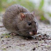 170927 Brown rat (3)
