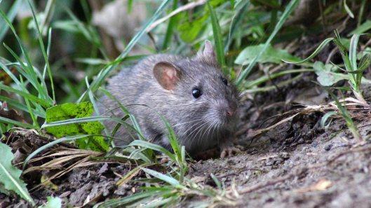 170927 Brown rat (4)