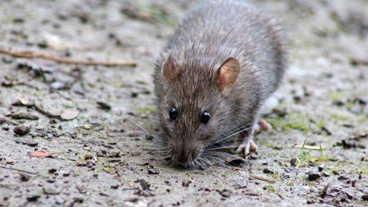 170927 Brown rat (5)