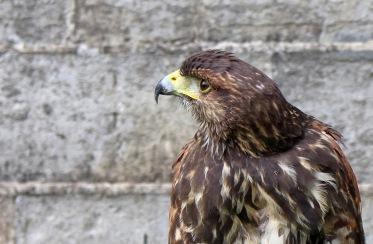 171001 Harris's hawk (2)