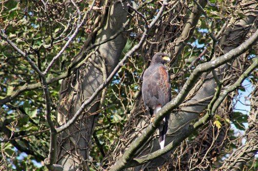171001 Harris's hawk (3)