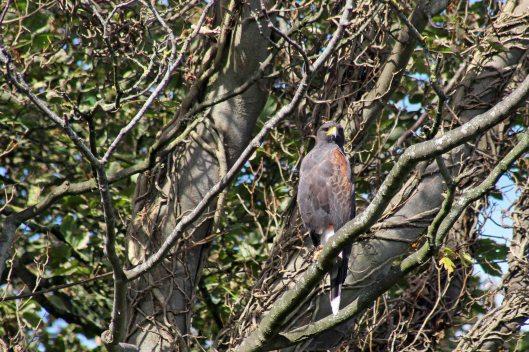 171001 Harris's hawk (4)