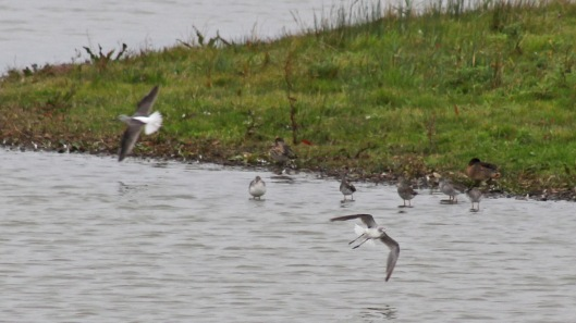190728 4 spotted redshank dunlin greenshank flying