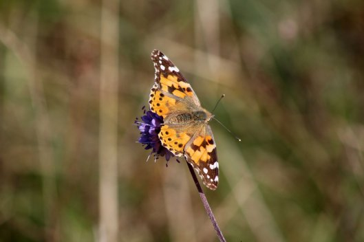 171005 Painted lady on Devil's-bit scabious