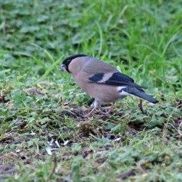 171007 Bullfinch (1)
