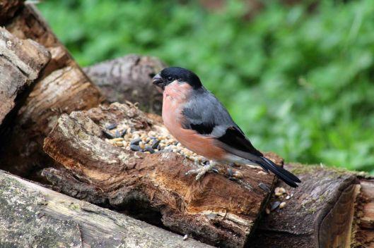 171007 Bullfinch (2)