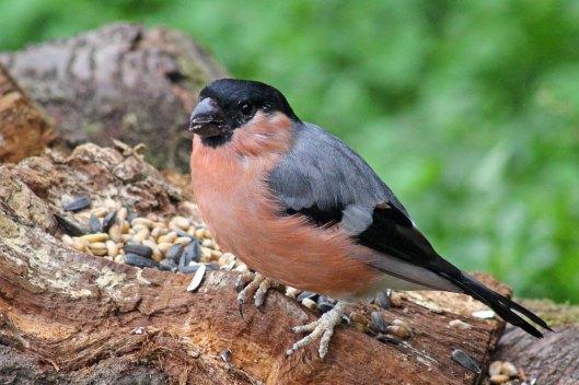 171007 Bullfinch (3)
