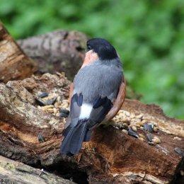 171007 Bullfinch (4)