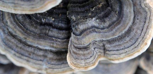 171007 Turkeytail Trametes versicolor (8)