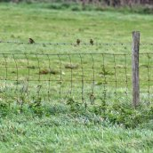 171010 Meadow pipits