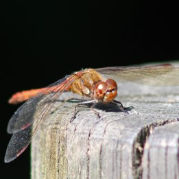 171012 Common darter (1)