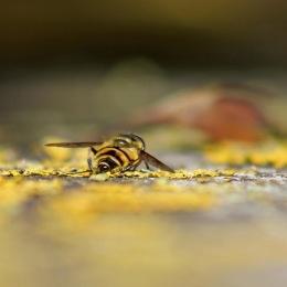 171012 Myathropa florea
