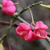 171014 spindle seeds (3)