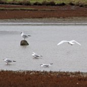 171019 Assorted gulls (1)