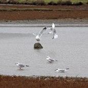 171019 Assorted gulls (2)