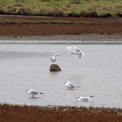 171019 Assorted gulls (3)