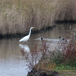 171019 Great white egret