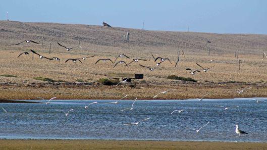 171021 Brent geese Med gulls