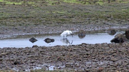 171021 Little egret