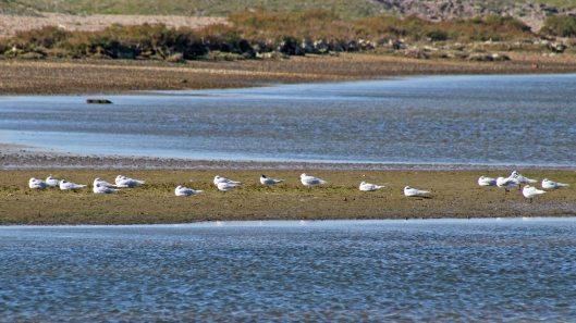 171021 Med gulls Sandwich terns
