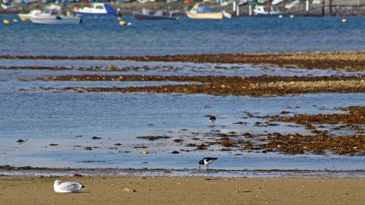 171021 Oystercatchers Gull