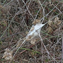 171022 Brown-tail moth web (1)