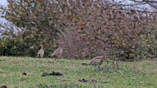 171023 Pheasants