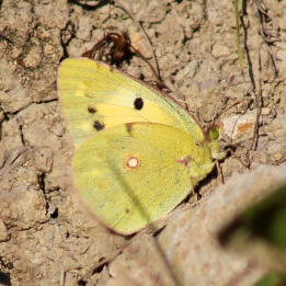 171024 Clouded Yellow f. helice