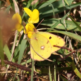 171024 Clouded yellow