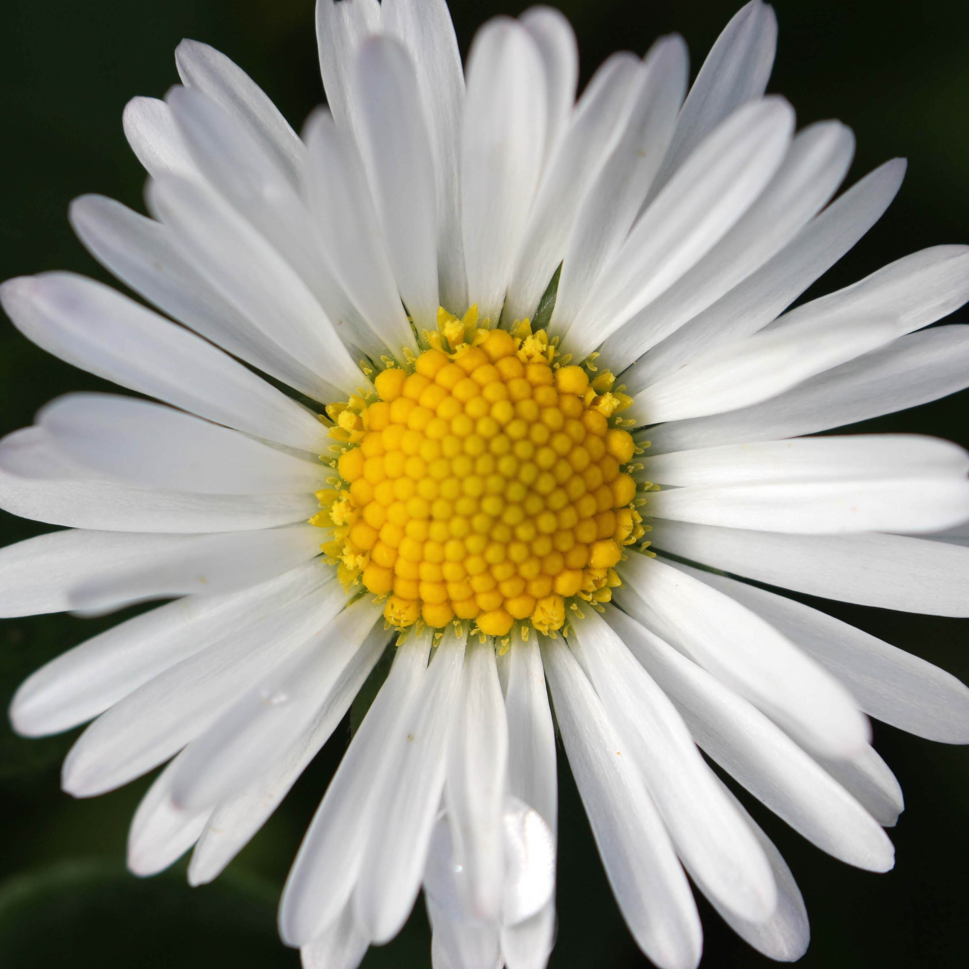 171027 Daisy