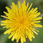 171027 Sow thistle