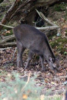 171028 Arne Sika deer (2)