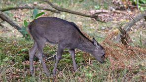 171028 Arne Sika deer (3)