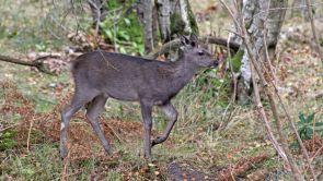 171028 Arne Sika deer (4)