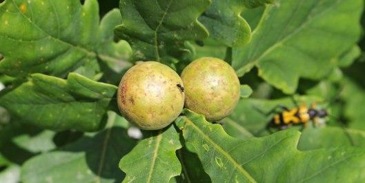 171028 Oak marble gall