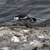 171031d Pied wagtail