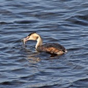 171031g Great crested grebe (1)