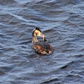 171031g Great crested grebe (2)