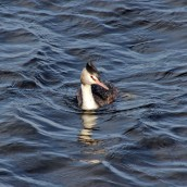 171031g Great crested grebe (3)