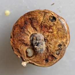 171108 Oak marble gall inhabitants (3)
