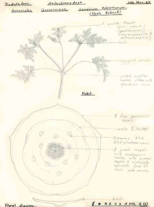 171103 Herb Robert (2)