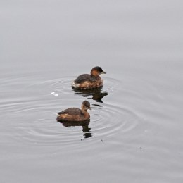171104 2 Little grebes