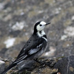 171104 3 Pied wagtail (1)