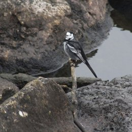 171104 3 Pied wagtail (2)
