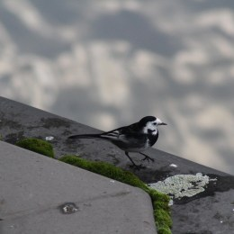 171104 3 Pied wagtail (3)