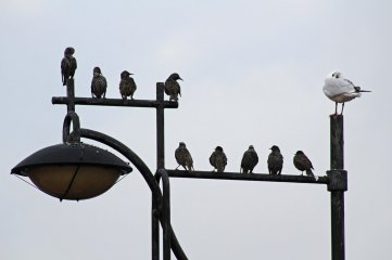 171104 6 Starlings and gull
