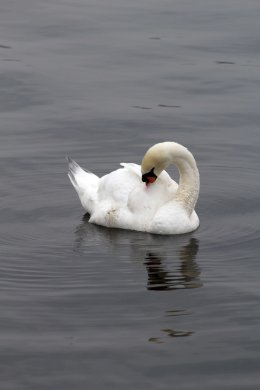 171104 7 Mute swan