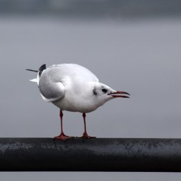 171104 8 Black-headed gull (1)